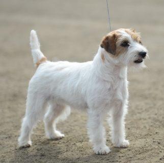 Pentuesuunnitelmia – Puppy plans